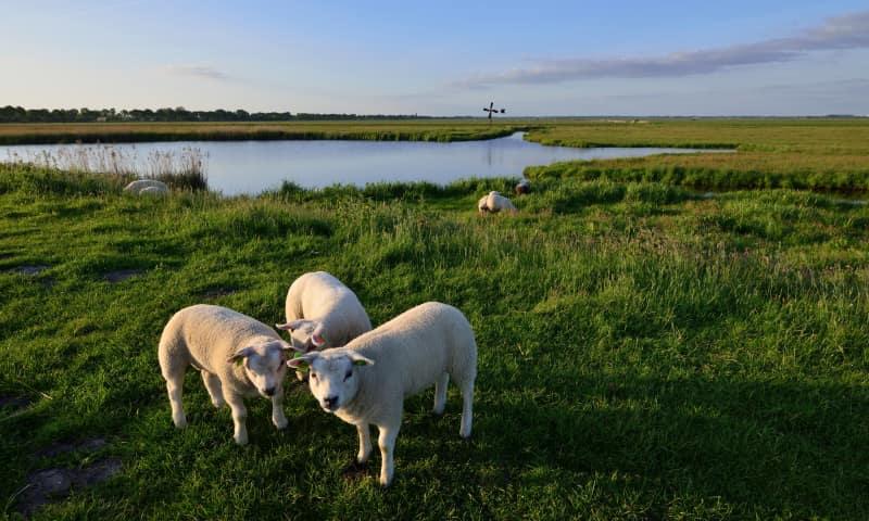 Wandelen langs de schapen in Eemland