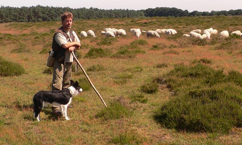 Kudde Veluwse heideschapen met schaapherder