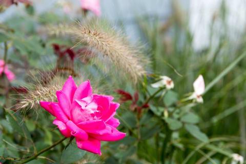 Beautiful Ever Blooming Perennials