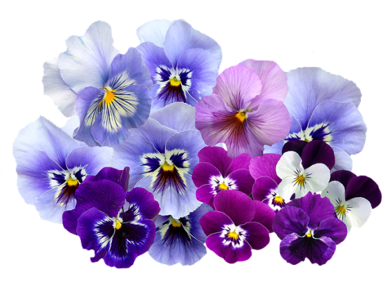 3. Which of the following is not a connotation of the violet?