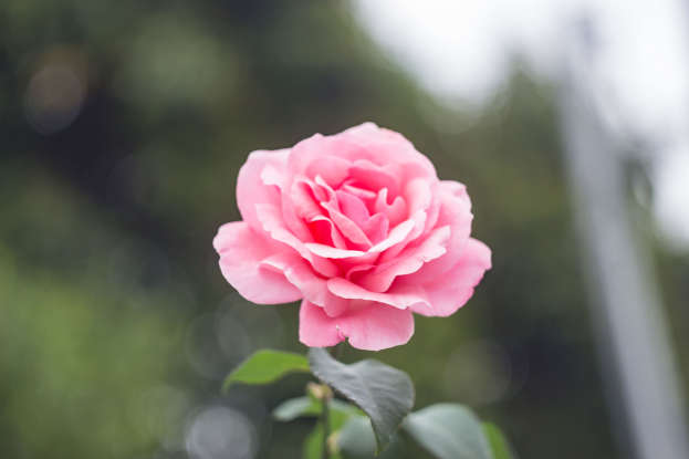 7. What does the pink rose symbolize?