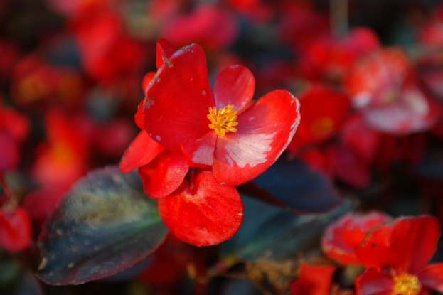 8. The begonia symbolizes what?