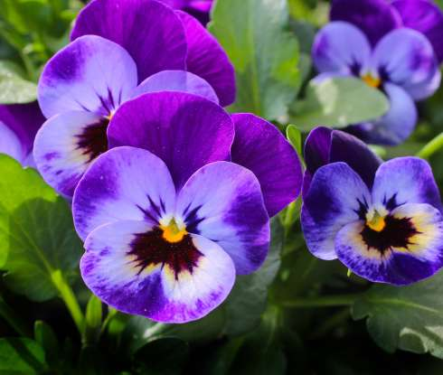 9. The pansy is the symbol for what?