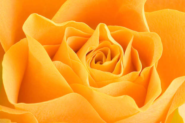 14. The orange rose symbolizes which of the following?