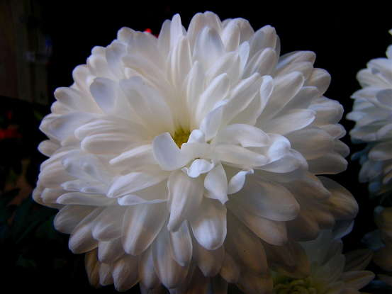 15. The white chrysanthemum is a symbol for which of the following?