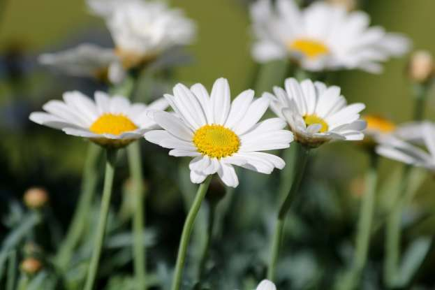 17. The daisy is a symbol for which of the following?