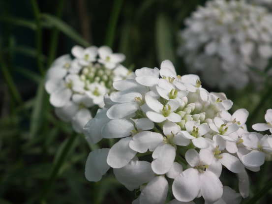 19. The candytuft is a symbol for which of the following?