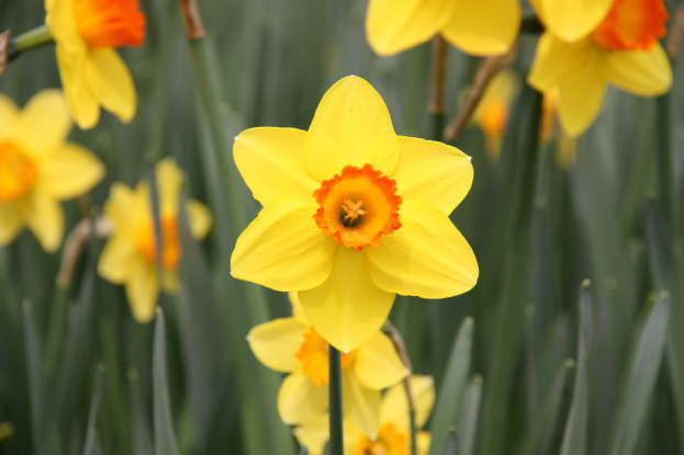20. The daffodil foretells what?