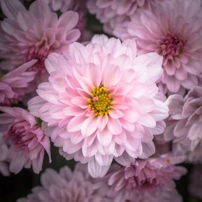 "23. Chrysanthemum, named from the Greek prefix ""-chrys,"" meaning golden, has a history that dates back to when?"