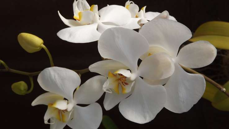 25. In ancient Greece, the orchid was associated with which of the following?