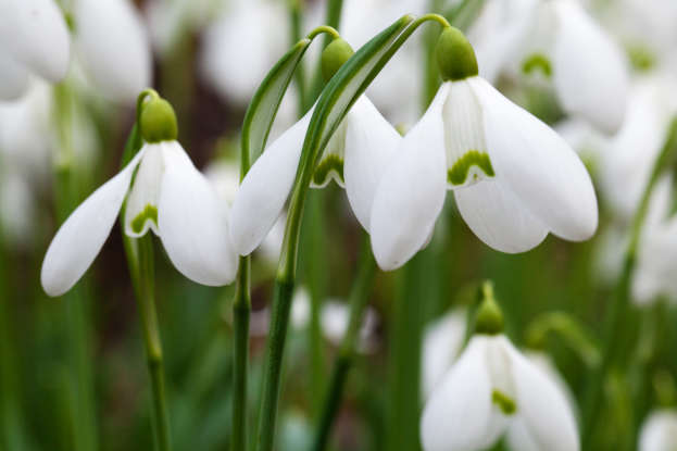 29. The snowdrop is a symbol for which of the following?