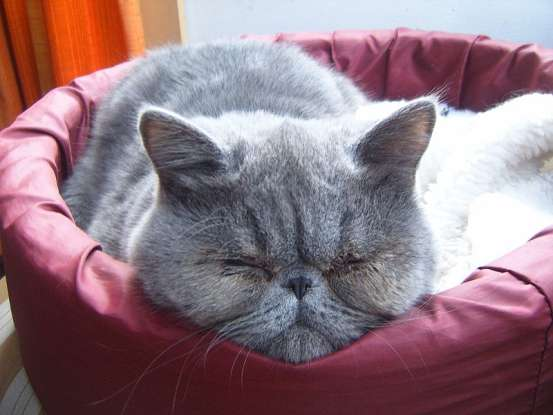 1. Which of the following cat breeds is also known as the lazy man