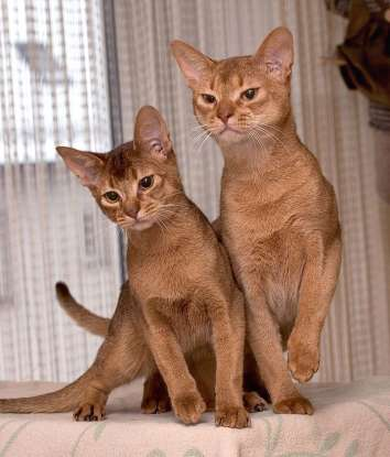 5. Which of the following cat breeds is known for having the capability to learn tricks and commands?