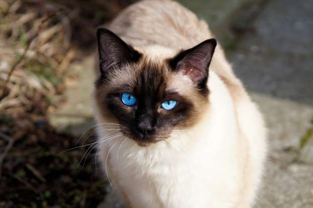 7. The Siamese breed of cat appears in which of the following movies?