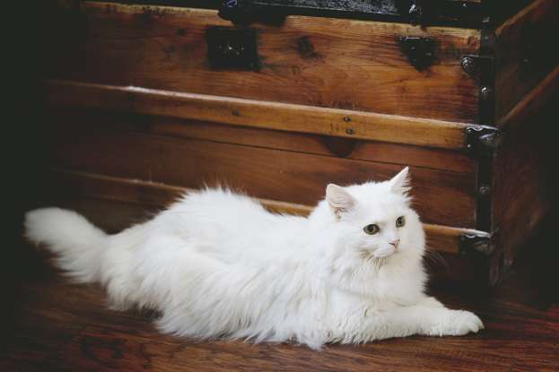 11. What breed has the bushiest and longest coat among long-haired cats?