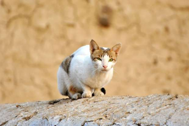 15. Which breed of cat is considered to be a national treasure in Greece?