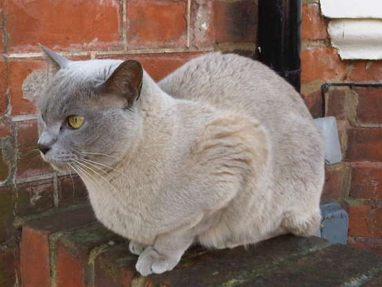 23. The British Burmese cat is known to be predisposed to diabetes. True or false?