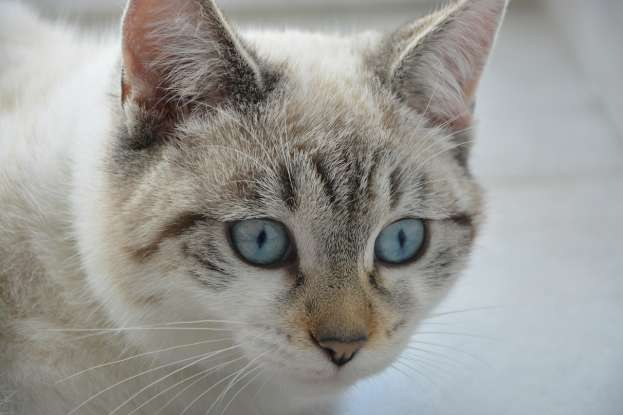 37. What does the name of the breed Ojos Azules mean?