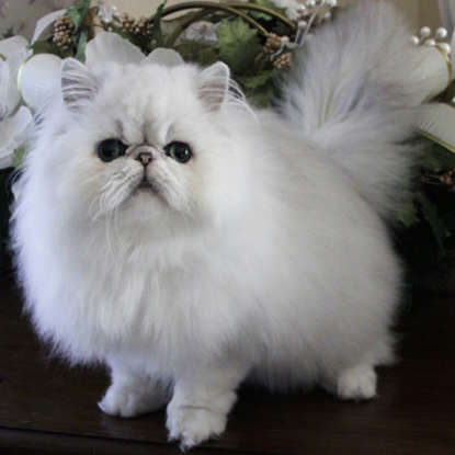 42. Persian cats come in how many types?