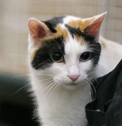 9. Which cat breed is said to be the inspiration for Hello Kitty?