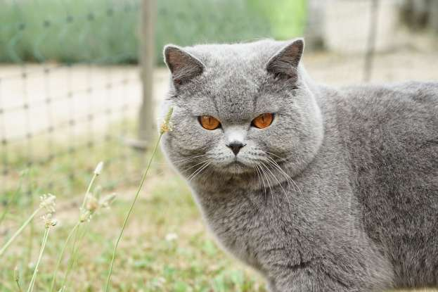 3. British Shorthairs come in various colors. What is their most popular color?