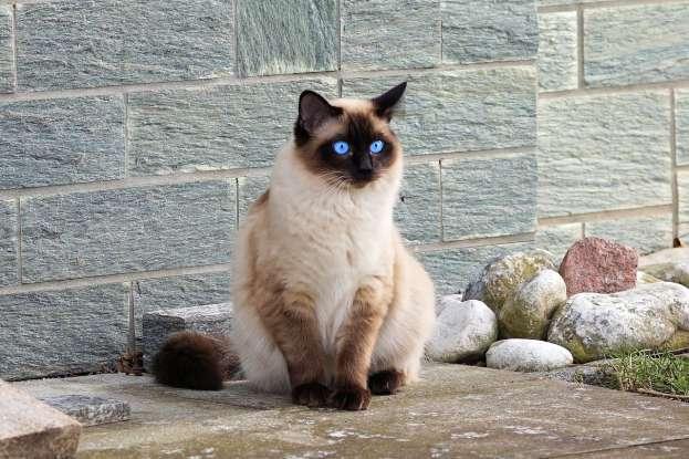 12. Where did Siamese cats originate from?