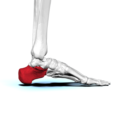10. Which bone is this?
