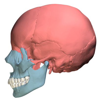 27. Which bone (highlighted in red) is this?