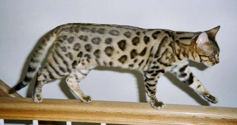 1. Which cat breed resembles a wild cat?