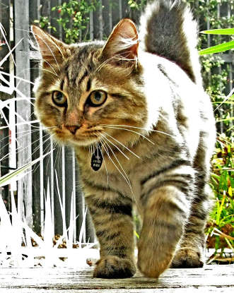 2. I was developed by crossing a Siamese and a shorttailed male tabby in the late 1960s. Which cat breed am I?