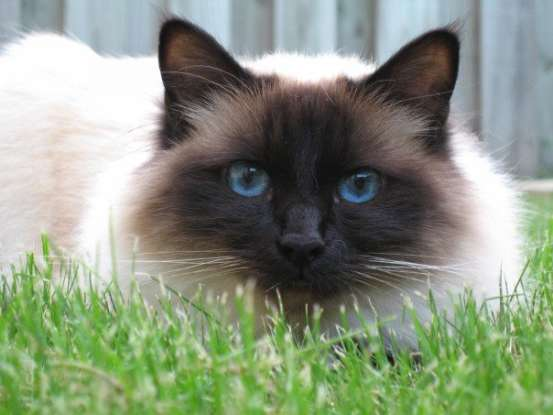 3. Legend says that I got my coat and blue eyes from a Burmese goddess. Which cat breed am I?