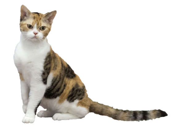 5. My coat is really springy. Which cat breed am I?