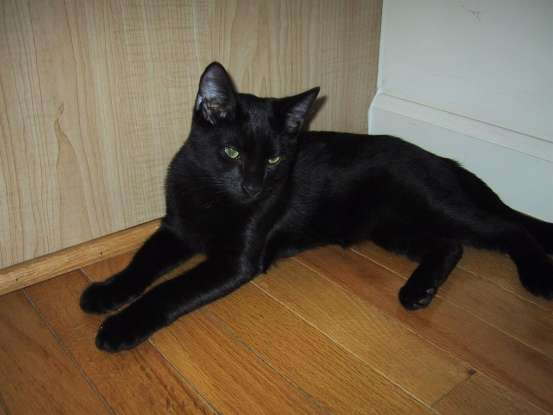 6. I am smart, playful, and I resemble a miniature black panther. Which cat breed am I?