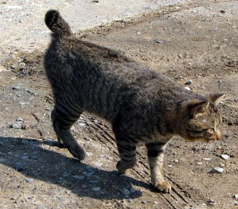 7. I used to guard grain supplies and protect silkworms. I have an American cousin.  Which cat breed am I?