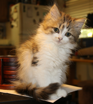 8. I am related to the Ragdoll breed. Which cat breed am I?