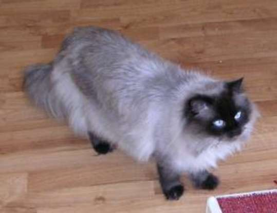 9. I am the product of a cross between a Persian and a Siamese. Which cat breed am I?
