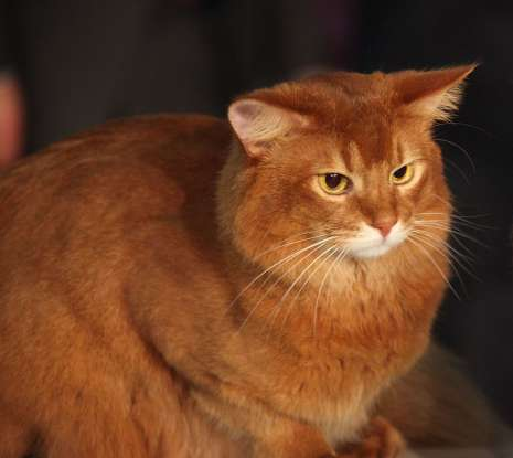 10. I am a longhair variety of the Abyssinian. Which cat breed am I?