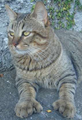 11. Which cat breed is thought to be a cross between a bobcat and a barn cat?