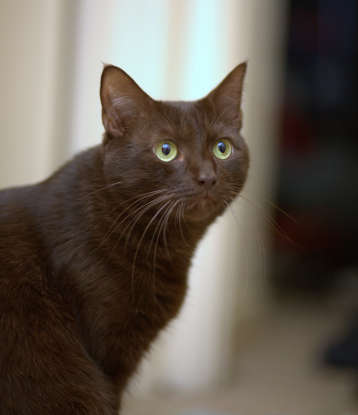 12. I am long and brown with green eyes. Which cat breed am I?
