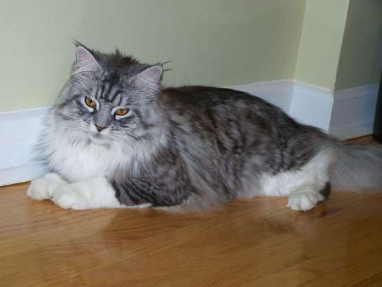 13. Which cat breed is said to have been brought to America by vikings?