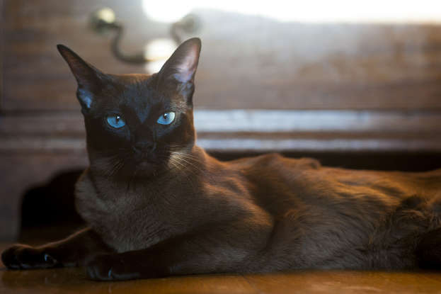 15. Which cat breed is created from the crossing of the Point Siamese and British Shorthair?