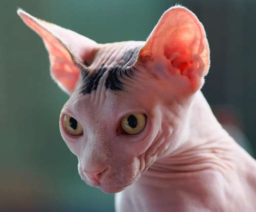 16. Which cat breed is nearly hairless?