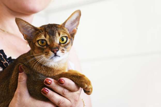 18. Which cat breed is said to have been the cat of the pharaohs?