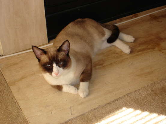 20. Now and then I am bred back with Siamese cats, so as to maintain my traits. Which cat breed am I?
