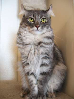 21. I am the youngest of all the cat breeds. Which cat breed am I?
