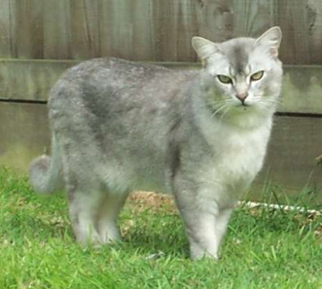 23. Which breed is created from the crossing of the Burmese and Chinchilla Persian?