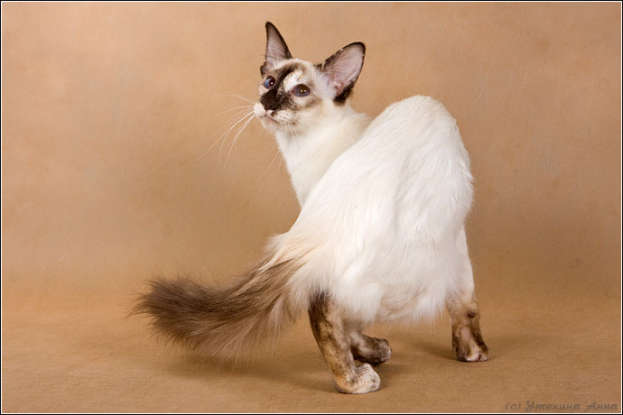22. I am a longhair variety of the Siamese. Which cat breed am I?