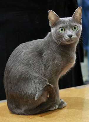 25. Which cat breed has silver fur and green eyes?