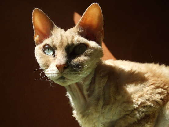 26. Which cat breed is said to share genetic makeup with the Cornish Rex?