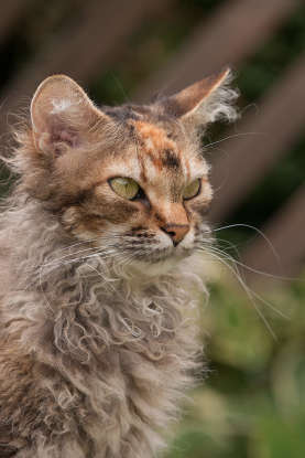 27. I have a distinctively curly and airy coat. Which cat breed am I?